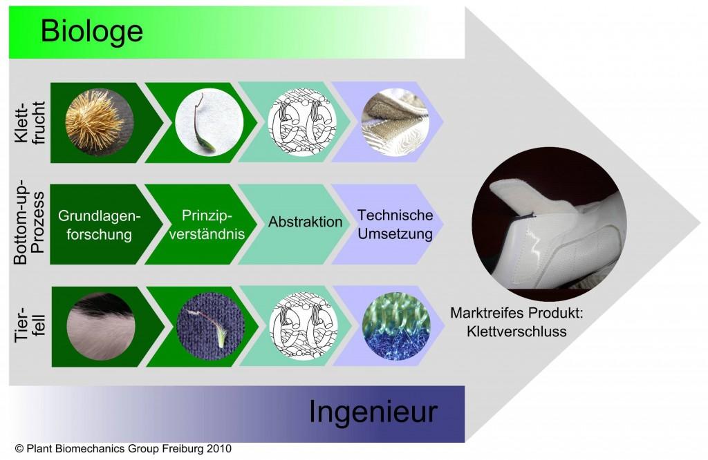 Entwicklungsprozess des Klettverschlusses © Plant Biomechanics Group Freiburg