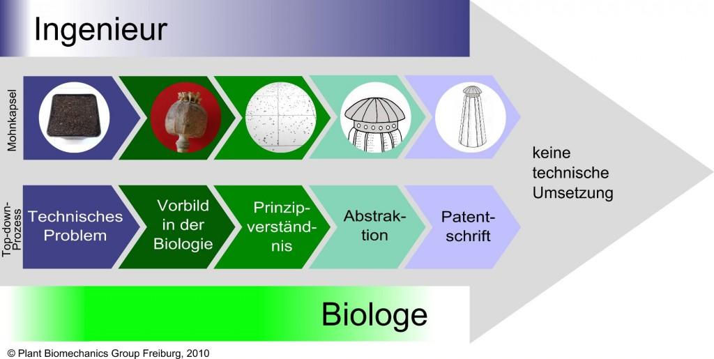 Entwicklungsprozess des bionischen Streuers © Plant Biomechanics Group Freiburg