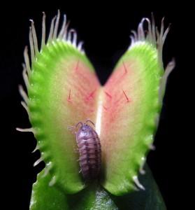 Venusfliegenfalle mit Assel © Plant Biomechanics Group Freiburg